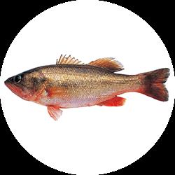 micropterus-salmoides